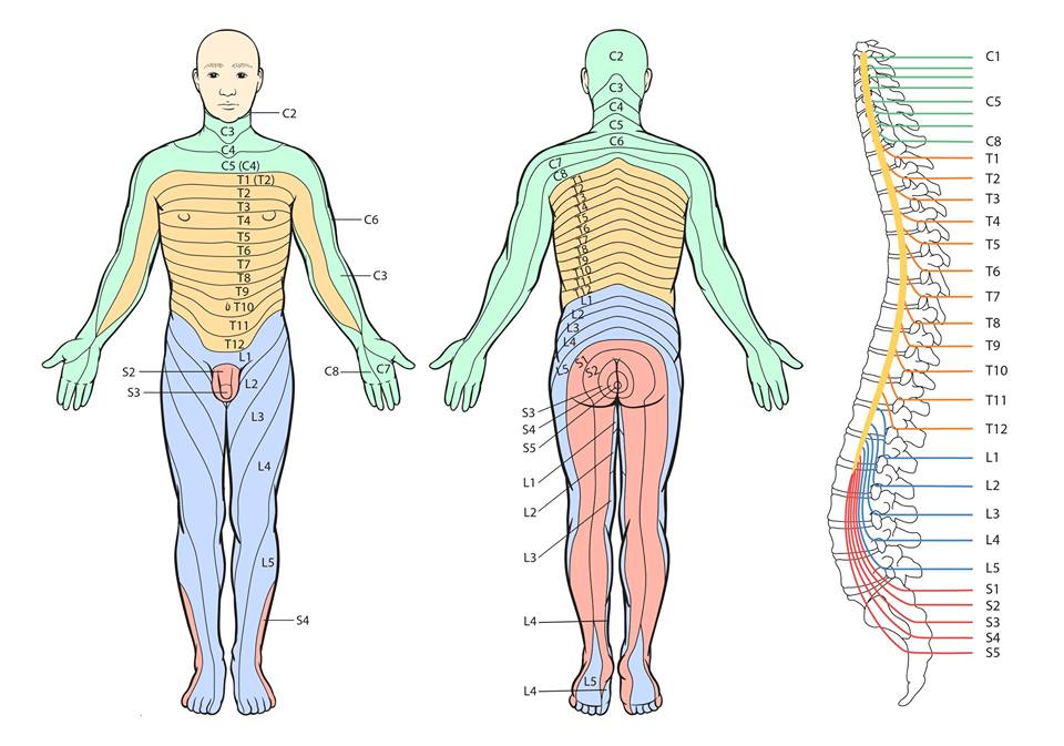 Los músculos a los cuellos bolyat