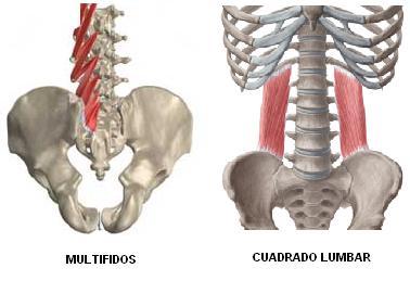 musculatura profunda y movilizadora