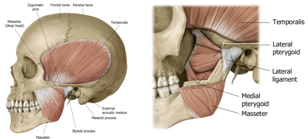 Qué relación existe entre la ATM y la columna cervical? | FisioCampus